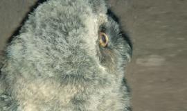 Сова ушастая – типичный представитель леса – поселилась в Бахчисарайском зоопарке